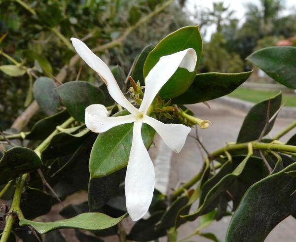 Carissa macrocarpa (Ecklon) A. DC.
