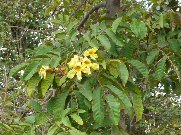Markhamia lutea (Benth.) K. Schum.
