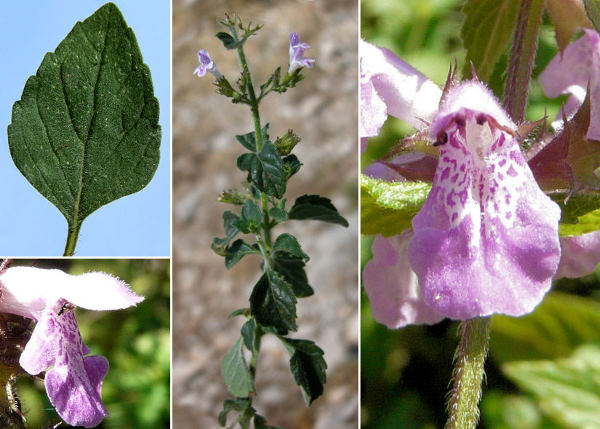 Clinopodium menthifolium (Host) Stace subsp. menthifolium