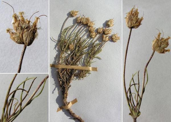 Plantago sempervirens Crantz