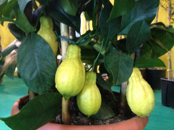 Citrus x limonimedica hort. 'Perettone'
