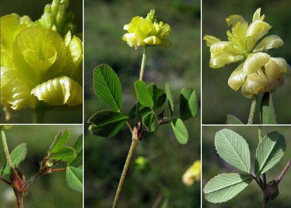Trifolium aureum Pollich subsp. aureum