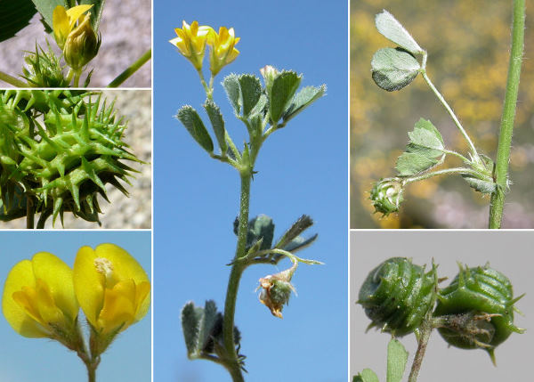 Medicago rigidula (L.) All.