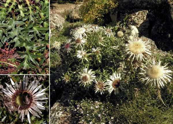 Carlina acaulis L. subsp. acaulis