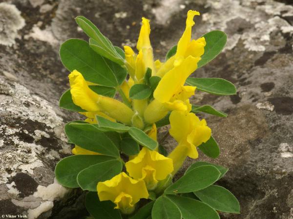 Cytisus hirsutus L. subsp. ciliatus (Wahlenb.) Asch. & Graebn.