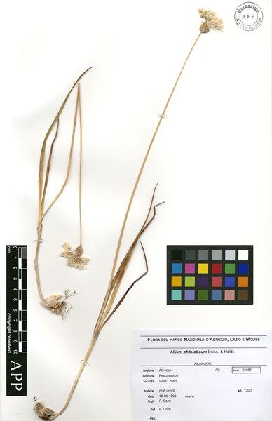 Allium permixtum Guss.