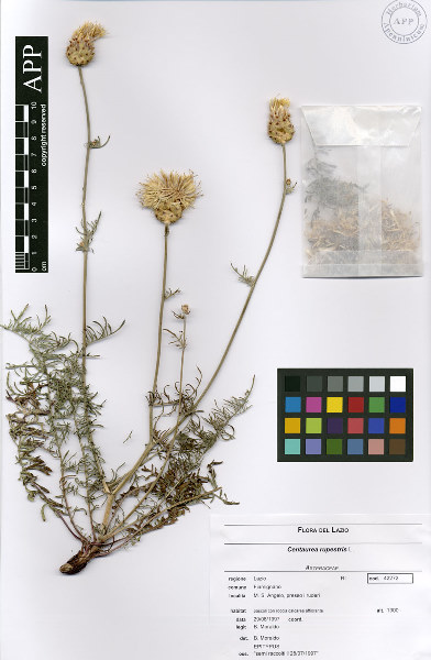 Centaurea rupestris L. s.l.