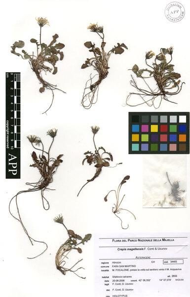 Crepis magellensis F.Conti & Uzunov