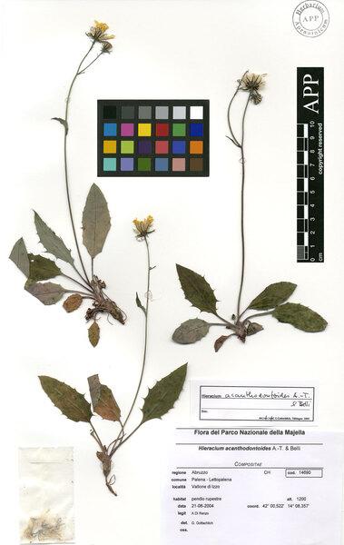 Hieracium acanthodontoides Arv.-Touv. & Belli