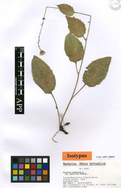 Hieracium arpadianum Zahn subsp. pugnaculum Gottschl.