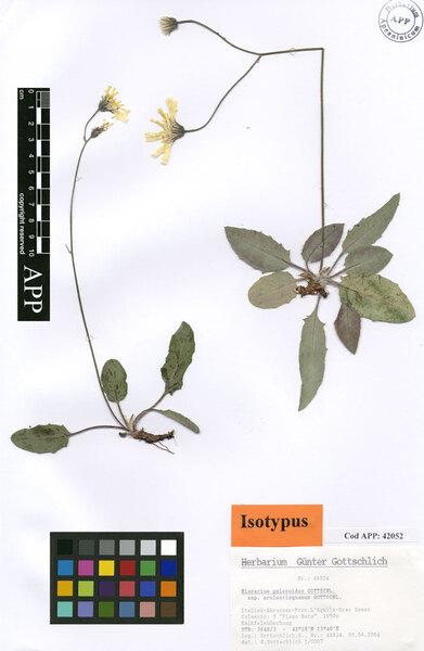 Hieracium galeroides Gottschl. subsp. aculeatisquamum Gottschl.