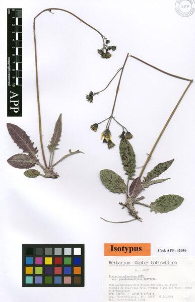 Hieracium glaucinum Jord. subsp. pseudobasalticum Gottschl.
