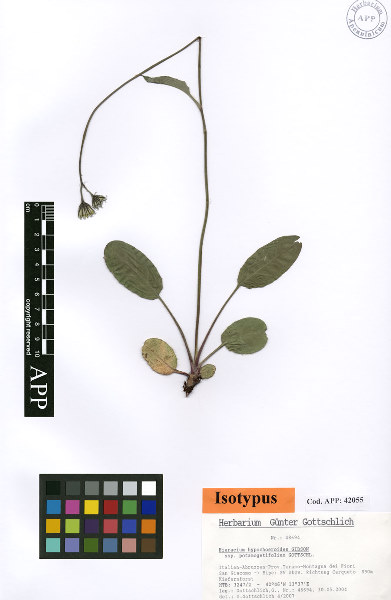 Hieracium hypochoeroides S.Gibson subsp. potamogetifolium Gottschl.