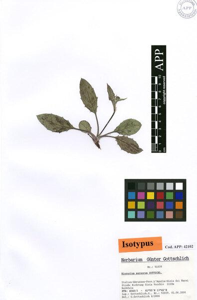 Hieracium marsorum Gottschl.