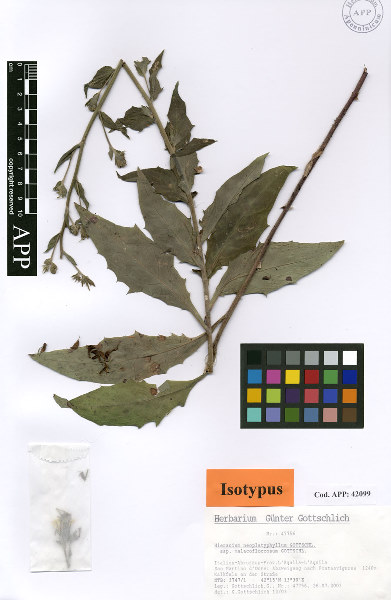 Hieracium neoplatyphyllum Gottschl. subsp. malacofloccosum Gottschl.