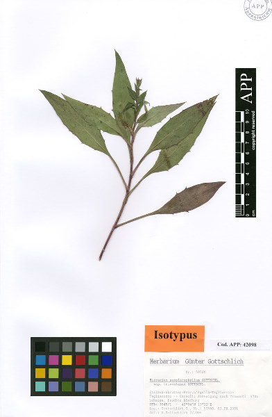 Hieracium neoplatyphyllum Gottschl. subsp. trimontanum Gottschl.