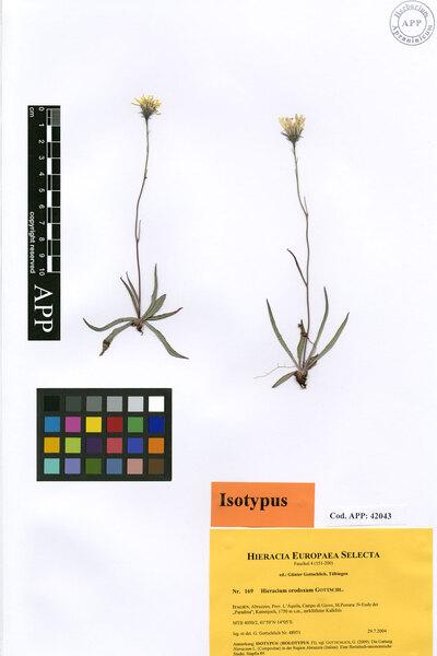 Hieracium orodoxum Gottschl. subsp. orodoxum