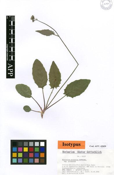 Hieracium picenorum Gottschl. subsp. picenorum