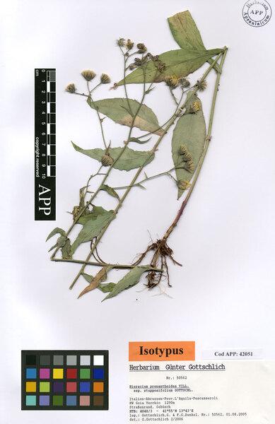 Hieracium prenanthoides Vill. subsp. stupposifolium Gottschl.