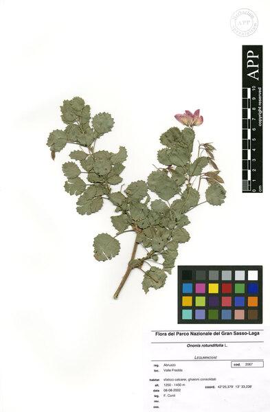 Ononis rotundifolia L.