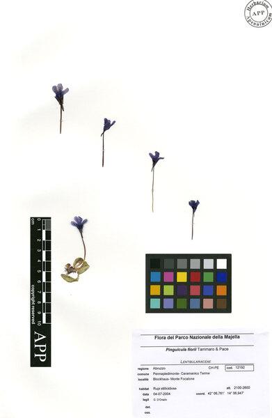 Pinguicula fiorii Tammaro & Pace