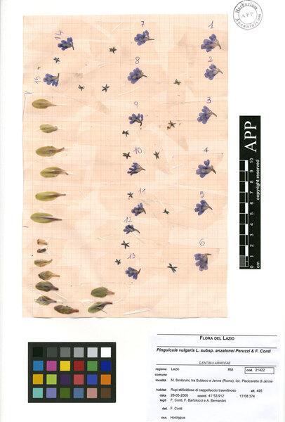 Pinguicula vulgaris L. subsp. anzalonei Peruzzi & F.Conti