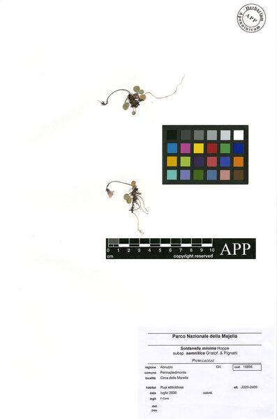 Soldanella minima Hoppe subsp. samnitica Cristof. & Pignatti