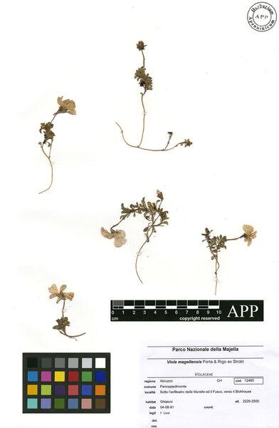 Viola magellensis Porta & Rigo ex Strobl