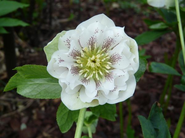 Helleborus orientalis Lam. 'Double Flowers'