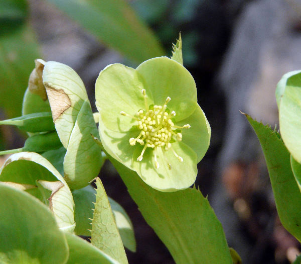 Helleborus lividus Aiton subsp. corsicus (Briq.) P.Fourn.