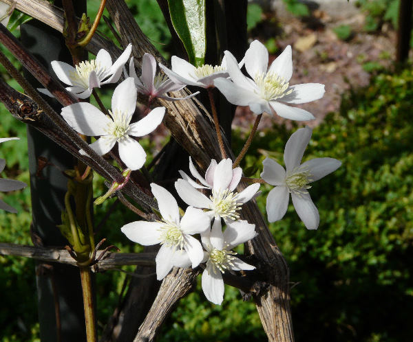 Clematis armandii Franch. 'Apple Blossom'