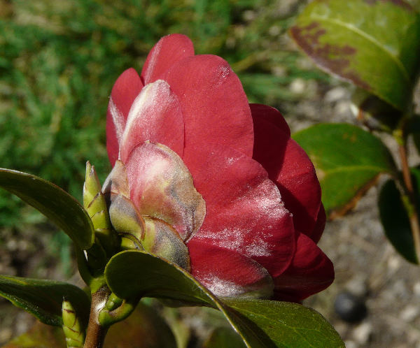 Camellia japonica L. 'Mrs. Charles Cobb'