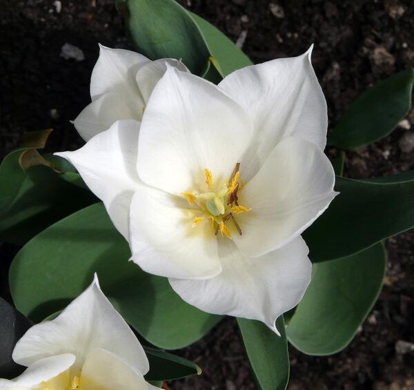 Tulipa 'White Dream'