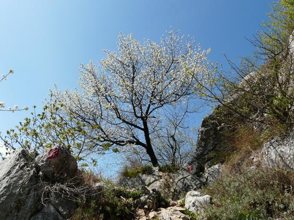 Prunus mahaleb L.