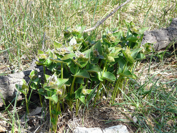 Vincetoxicum hirundinaria Medik. subsp. hirundinaria