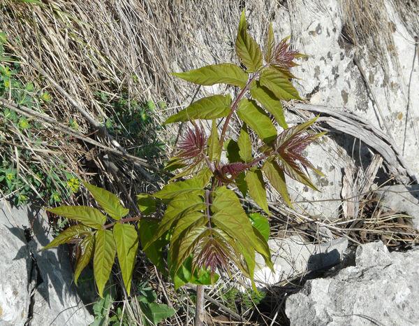 Ailanthus altissima (Mill.) Swingle