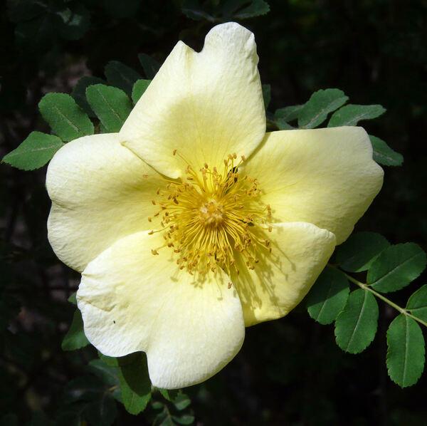 Rosa xanthina Lindl.