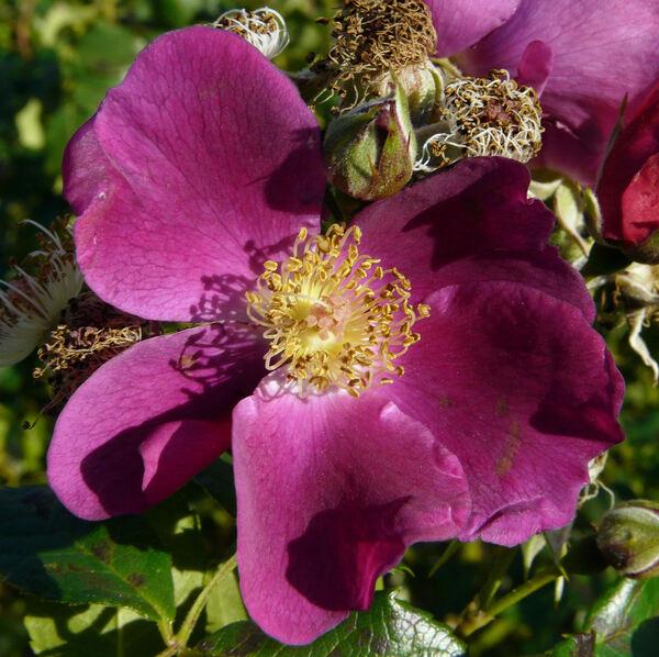 Rosa 'Manhattan Blue'