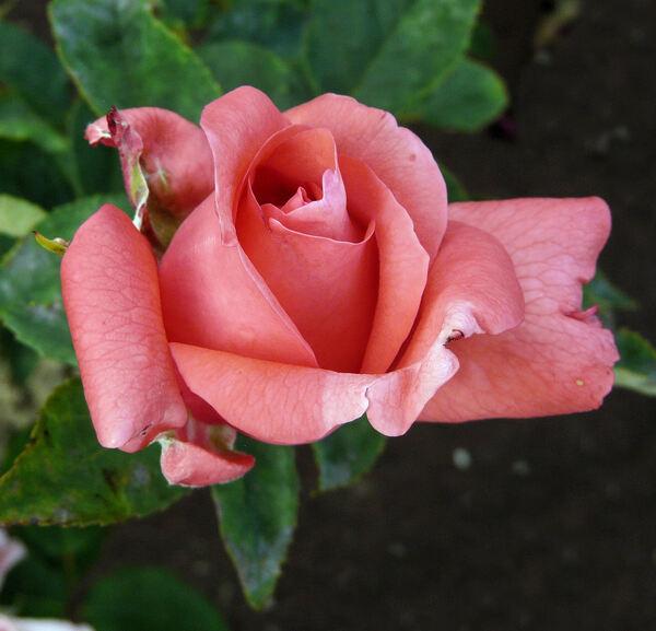 Rosa 'Parure'