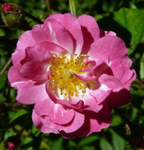 Rosa 'Belinda'