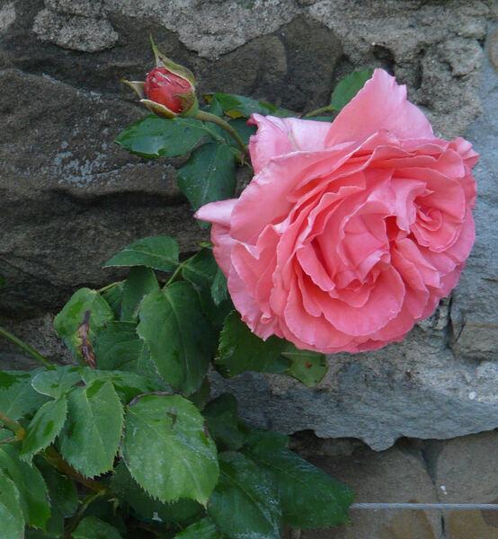 Rosa 'Dee Dee Bridgewater ®'
