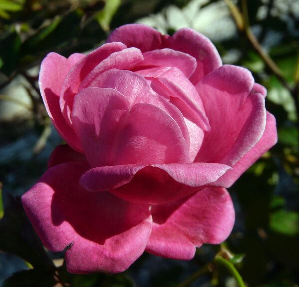 Rosa 'Cramoisi Supérieur'