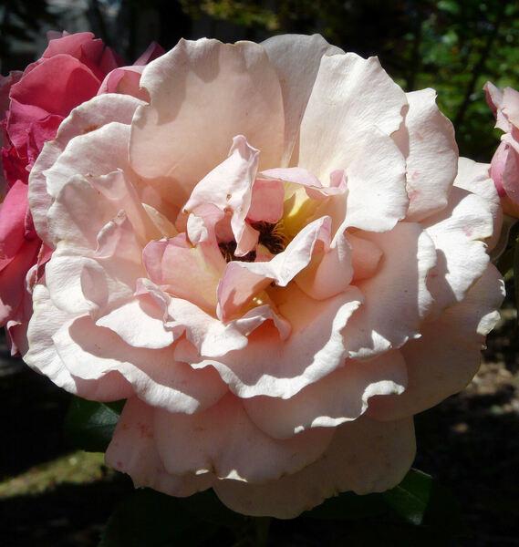 Rosa 'Poesie'