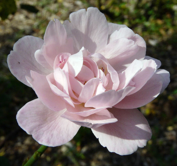 Rosa 'Queen of Sweden'