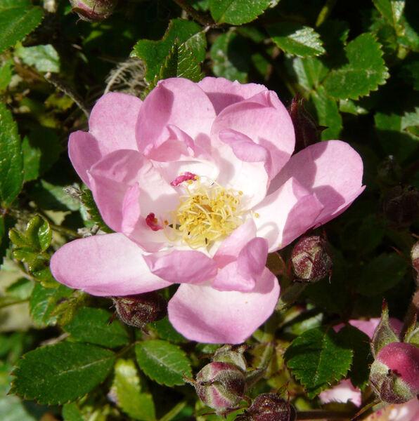 Rosa 'Puccini'