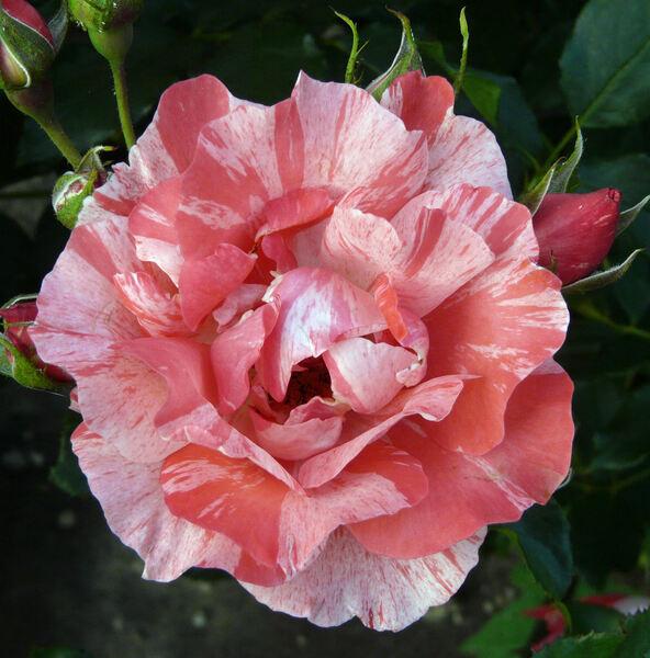 Rosa 'Rosita Missoni ®'