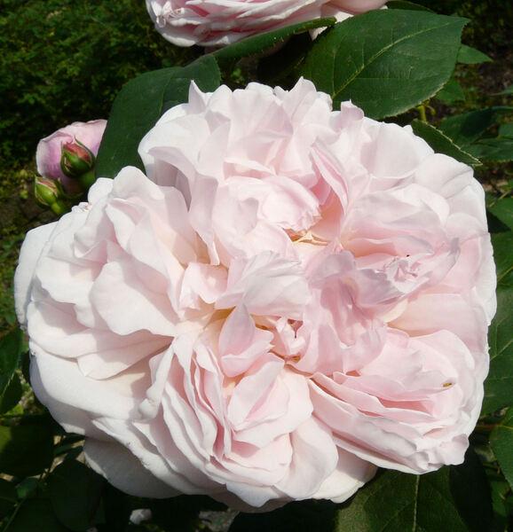 Rosa 'St. Swithun ™'