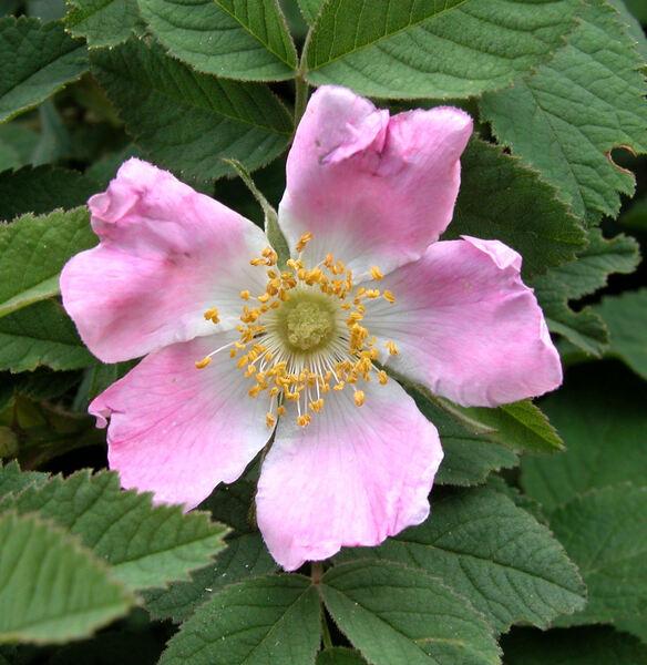 Rosa mollis Sm.