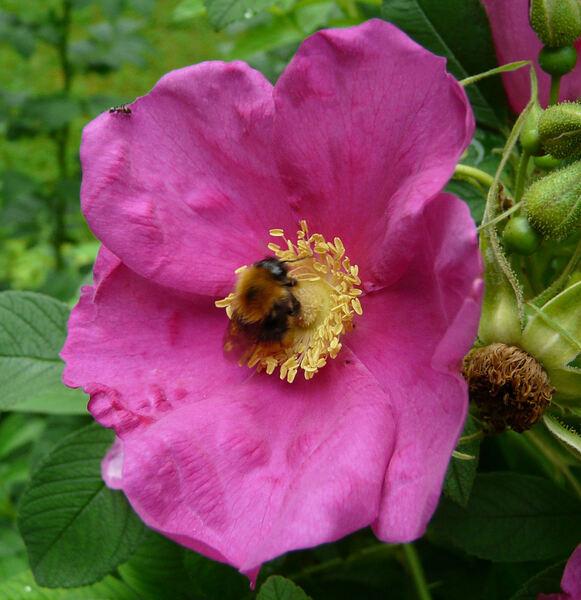 Rosa x calocarpa (André) Willmott