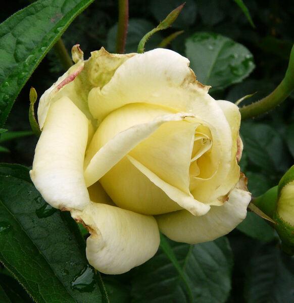 Rosa 'Caroline de Monaco ®'